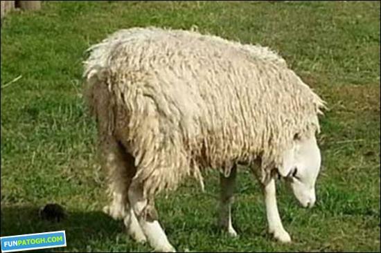 گوسفندی عجیب با سری وارونه+عکس