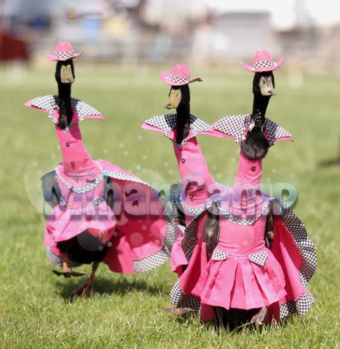 شوی لباس اردک ها بسیار زیبا