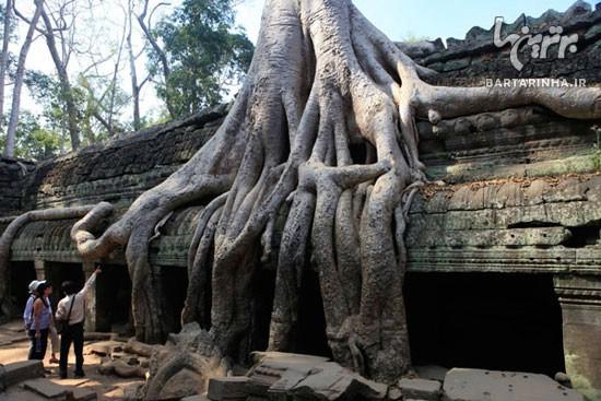 درختی با ریشه های عجیب و غریب! +عکس